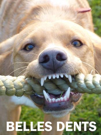 Les Troubles Dentaires Chez Les Chiens Conseils Chiens Animobouffe